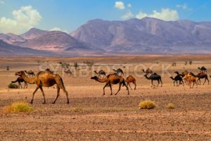 Dromedary camels in Sahara, Morocco, Africa - GlobePhotos