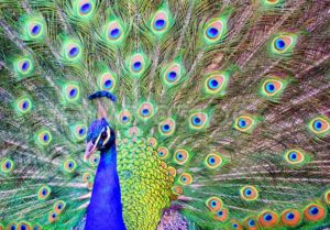 Male peacock with a spread out plumage tail - GlobePhotos - royalty free stock images