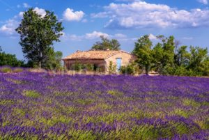Blooming lavender field in Provence, France - GlobePhotos - royalty free stock images