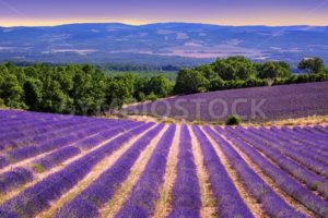 Blooming lavender fields in Provence, France - GlobePhotos - royalty free stock images