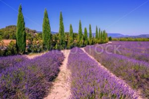 Lavender fields and cypress trees in Provence, France - GlobePhotos - royalty free stock images