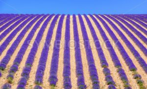 Rows of lavender flowers on a field in Provence, France - GlobePhotos - royalty free stock images
