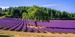 Lavender field with a tree in Provence, France - GlobePhotos - royalty free stock images