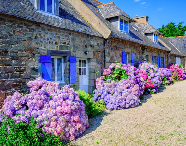 Colorful Hydrangeas flowers in a small village, Brittany, France Stock Photo