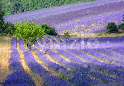 Blooming lavender fields in Provence, France Stock Photo