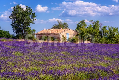 Blooming lavender field in Provence, France Stock Photo