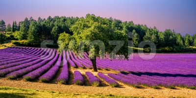 Lavender field with a tree in Provence, France, on sunset Stock Photo