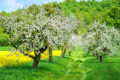 Blooming white apple tree alley and yellow canola field Stock Photo
