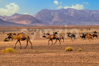 Dromedary camels in Sahara, Morocco, Africa Stock Photo