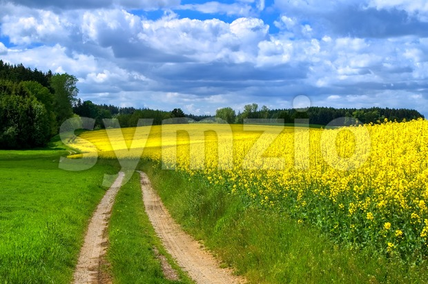 Country road leading through flowering canola fields in Bavaria, Germany