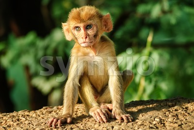 A young Rhesus Macaque monkey Stock Photo
