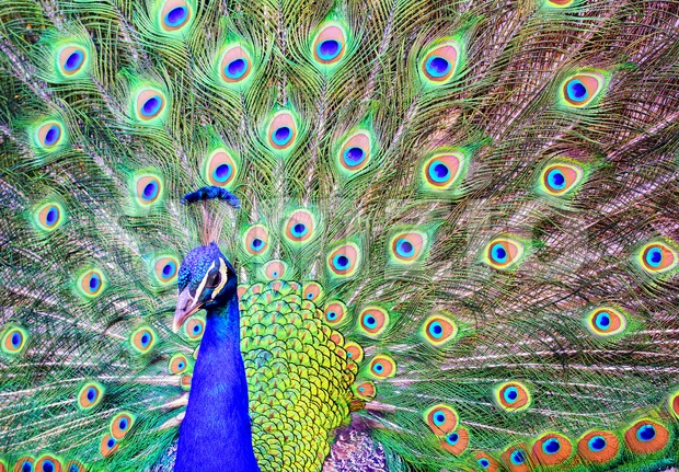 Male peacock with a spread out plumage tail Stock Photo