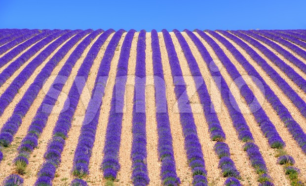 Rows of blooming purple lavender flowers on a field in Sault, Provence, France
