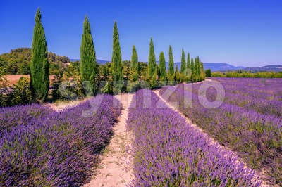 Lavender fields and cypress trees in Provence, France Stock Photo