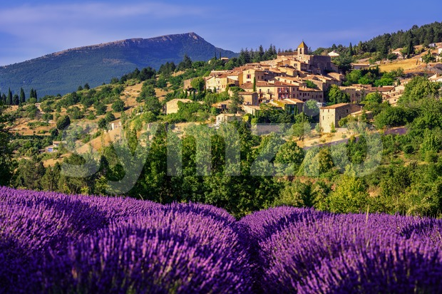 Blooming lavender field in Aurel hilltop village, Sault en Vaucluse, Provence, France