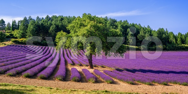 Lavender field with a tree in Provence, France Stock Photo