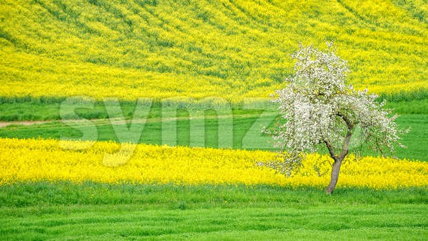 Blooming apple tree on a flowering raps field Stock Photo