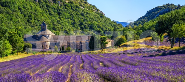 Blooming purple lavender field in Senanque abbey, Gordes, Provence, France