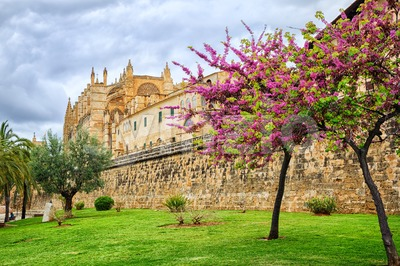 Blooming cherry tree in the cathedral garden, Palma de Mallorca, Spain Stock Photo