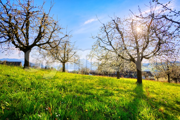 Cherry trees in blossom in Switzerland Stock Photo